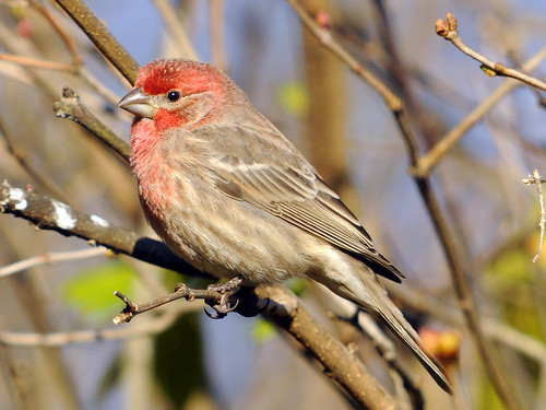 house finch bushes