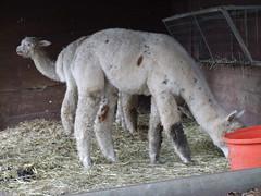 Tilgate Park - Alpaca