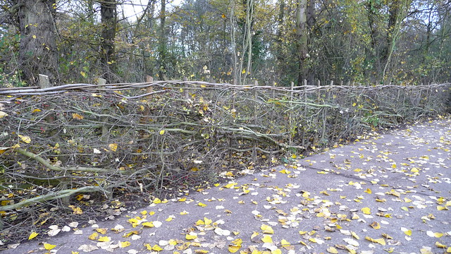 Newly laid Hedge