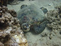 Hawaiian Turtle (DeoWaves) Tags: ocean canon hawaii turtle maui pacificocean kaanapali d10 seafloor httpwwwwixcommich670deowavesphotography