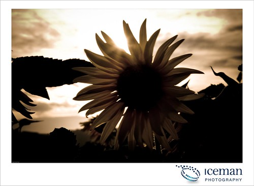 Sunflower 2010 278