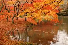 (nobuflickr) Tags: autumn plant nature japan garden kyoto autumncolors thekyotobotanicalgarden shieldofexcellence