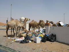 camel (Mme Shino) Tags: dubai camel 短歌