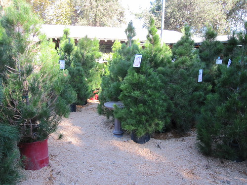 Living Christmas trees at Treeland in Calabasas