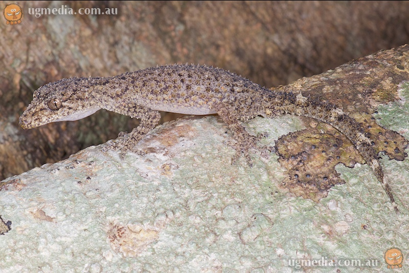 Ringed thin-tail gecko (Phyllurus caudiannulatus)