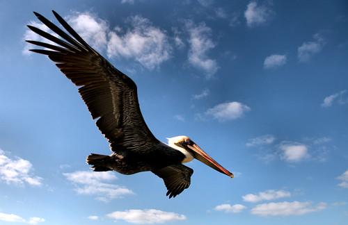 Pelican_Soar