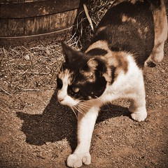 mo hoang (_blackscorpion_) Tags: cat retouch blackscorpion hnchu picolojojo