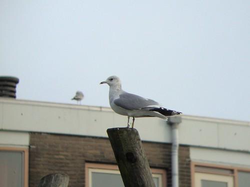 Common gull / Larus canus ad Y-FR2 Danmark