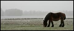 Brabander (merijnloeve) Tags: winter horse cold freeze biesbosch paard kou knol brabants vorst biesbos trekpaard brabander brabantsche