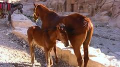 JORDANIEN - PETRA , Pferd mit Fohlen -  3/2715 (roba66) Tags: horses horse animals cheval tiere petra jordan pferd tier jordanien chevaux fohlen galope kingdomofjordan jordanienpetra concordians astoundingimage absolutelyperrrfect roba66 jordanien2010