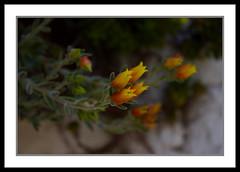 dónde lo naranja se vuelve amarillo (petrosko) Tags: orange naturaleza flores flower nature yellow natureza laranja flor amarillo amarelo naranja