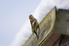 Female Chaffinch (Fringilla coelebs) on Snow Covered Shed Roof (Steve Greaves) Tags: winter snow cold bird nature female branch dof bokeh wildlife freezing aves naturalhistory snowing avian fringillacoelebs chaffinch mountainash rowantree commonchaffinch eurasianchaffinch nikond300 globalbirdtrekkers nikonafsii400mmf28ifedlens