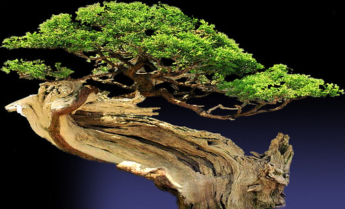 """Bonsai007 • <a style=""""font-size:0.8em;"""" href=""""http://www.flickr.com/photos/30735181@N00/5261347383/"""" target=""""_blank"""">View on Flickr</a>"""
