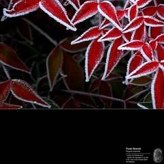 ice... glace... 1 (paolo.benetti) Tags: ice gelo foglie nikon natura fiori rosso ghiaccio naturalmente d80