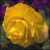 Feliz fin de semana - Happy weekend (Pilar Azaña Talán ) Tags: abigfave 100commentgroup flickerflrescloseupmacros flowersarebeautiful mimamamorflowers excellentsflowers exquisiteflowers mixedflowers macroselsalvador natureselegantshots greatshotss mimamorflowers pilarazaña cambiatodocambia mercedessosa autorcanciónjulionumhauser flor luz color amarillo verde malva bokeh frommetoyouwithlove