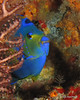 """Queen Angelfish • <a style=""""font-size:0.8em;"""" href=""""http://www.flickr.com/photos/45090383@N06/5271391761/"""" target=""""_blank"""">View on Flickr</a>"""