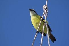 Kiskadee (Marc Javelly https://www.facebook.com/Photographym) Tags: bird yellow bluesky pajaro natureplus