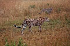 Mother and daughter (Jhan) Tags: africa nature geotagged kenya wildlife safari afrika cheetah kenia cheeta masaimara