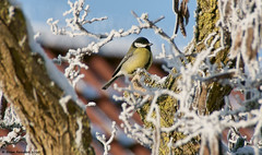 Koolmeesje-Great Tit (Bram Reinders) Tags: holland tree bird nature nederland thenetherlands natuur boom groningen greattit vogel koolmeesje farmsum tamronaf18250mmf3563diiildasphericalifmacro tamron18250mm tamron18250 sonyalpha700 bramreinders wwwbramreindersnl nieuwsgierigheidisdebronvanallekennis curiosityisthesourceofallknowledge bramreindersfarmsum borgwegfarmsum