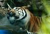 Shake (Scott Rudkin) Tags: canon zoo tiger sydney australia motionblur sumatrantiger tarongazoo canonef70200mmf28lisusm pantheratigrissumatrae ef70200f28is canoneos5dmarkii 5dmkii