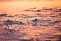 Winter Song (Marc Benslahdine) Tags: christmas winter sunlight snow macro bokeh hiver jardin explore neige frontpage glace lightroom glacial seasonsgreetings fraicheur polarizedlight wintersong canonef100mmf28macrousm canoneos50d marcopix marcbenslahdine marcopixcom