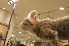 The dashing cat/ダッシュする猫
