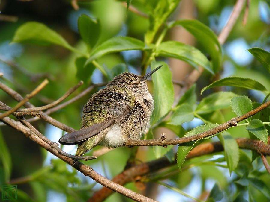 Anna's Hummingbird nest 0222101-5