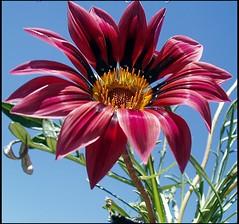 Felicidades!! (lacha2008.) Tags: dedicatedphoto topshots excellentsflowers natureselegantshots mimamorflowers panoramafotogrfico mygearandmepremium mygearandmebronze mygearandmesilver mygearandmegold flickrsportal mygearandmeplatinum dblringexcellence frommetoyouwithlove aboveandbeyondlevel4 aboveandbeyondlevel1 flickrstruereflection1 flickrstruereflection2 flickrstruereflection3 flickrstruereflection4 flickrstruereflection5 flickrstruereflection6 flickrstruereflection7 flickrstruereflectionexcellence aboveandbeyondlevel2 aboveandbeyondlevel3 rememberthatmomentlevel1 rememberthatmomentlevel2