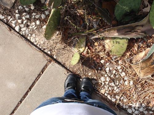 Texas Pricklies