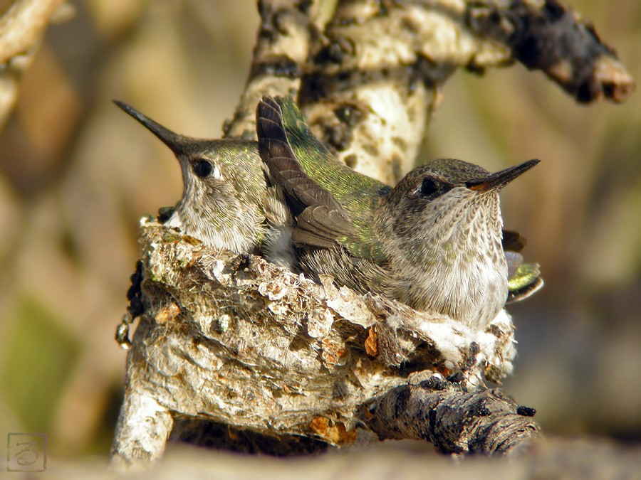 Anna's Hummingbird nest 031410i1