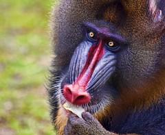 Dieting is wishful shrinking :) (Helen Beresford) Tags: africa mammal monkey rainforest colourful primate mandrill vulnerable matchpointwinner worldslargestmonkey