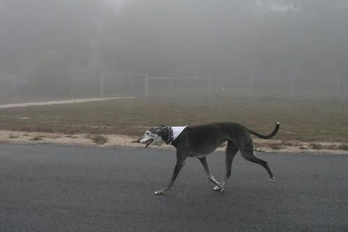 Greyhound_24