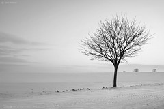 Hibernation (Ben Heine) Tags: winter light wallpaper blackandwhite white inspiration snow cold tree art love nature beauty silhouette forest photography hope freedom evening countryside scenery energy die branch afternoon force friendship belgium belgique belgie image lumire live air hiver sneeuw apocalypse arts dream picture peaceful atmosphere monotone oxygen together libert freeze series snowing neige strength minimalism conceptual tomorrow immortal arbre froid imagery ecosystem hibernation vibration workflow luminosity platteland postprocessing theartistery snieg platpays creativecomposition benheine braives flickrunited samsungimaging nx10 benheinecom