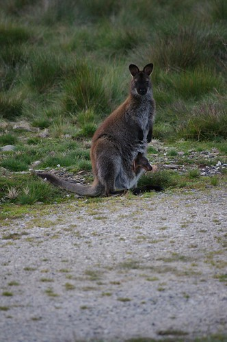 Wallaby Mother with Baby Joey