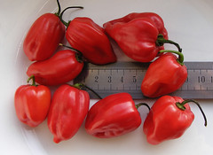 scotch bonnet chilli pepper