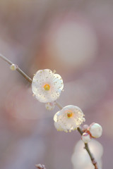 2011 (hanabi.) Tags: winter flower japan plum ume