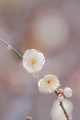 2011 (hanabi.) Tags: winter flower japan plum ume