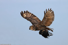 Great Horned Owl w/ Coot (mattlev12) Tags: great owl greathornedowl horned specanimal avianexcellence birdperfect