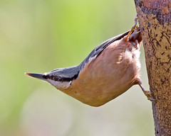 Hang on in there (Andrew H Wildlife Images) Tags: bird nature wildlife coventry nuthatch warwickshire coombeabbey canon7d ajh2008