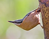 Hang on in there (Andrew Haynes Wildlife Images) Tags: bird nature wildlife coventry nuthatch warwickshire coombeabbey canon7d ajh2008