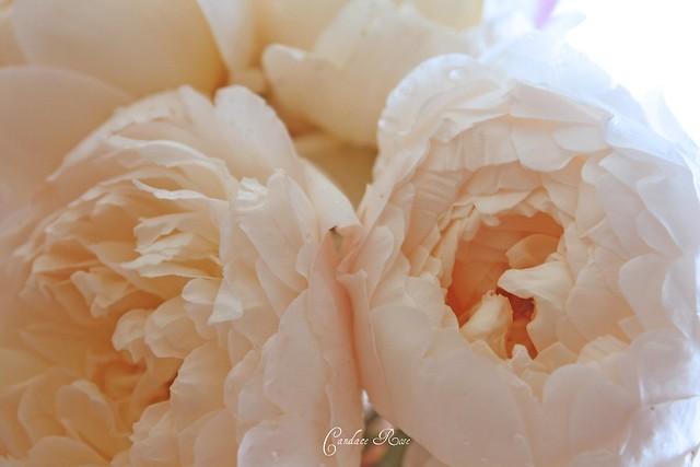 White English Roses