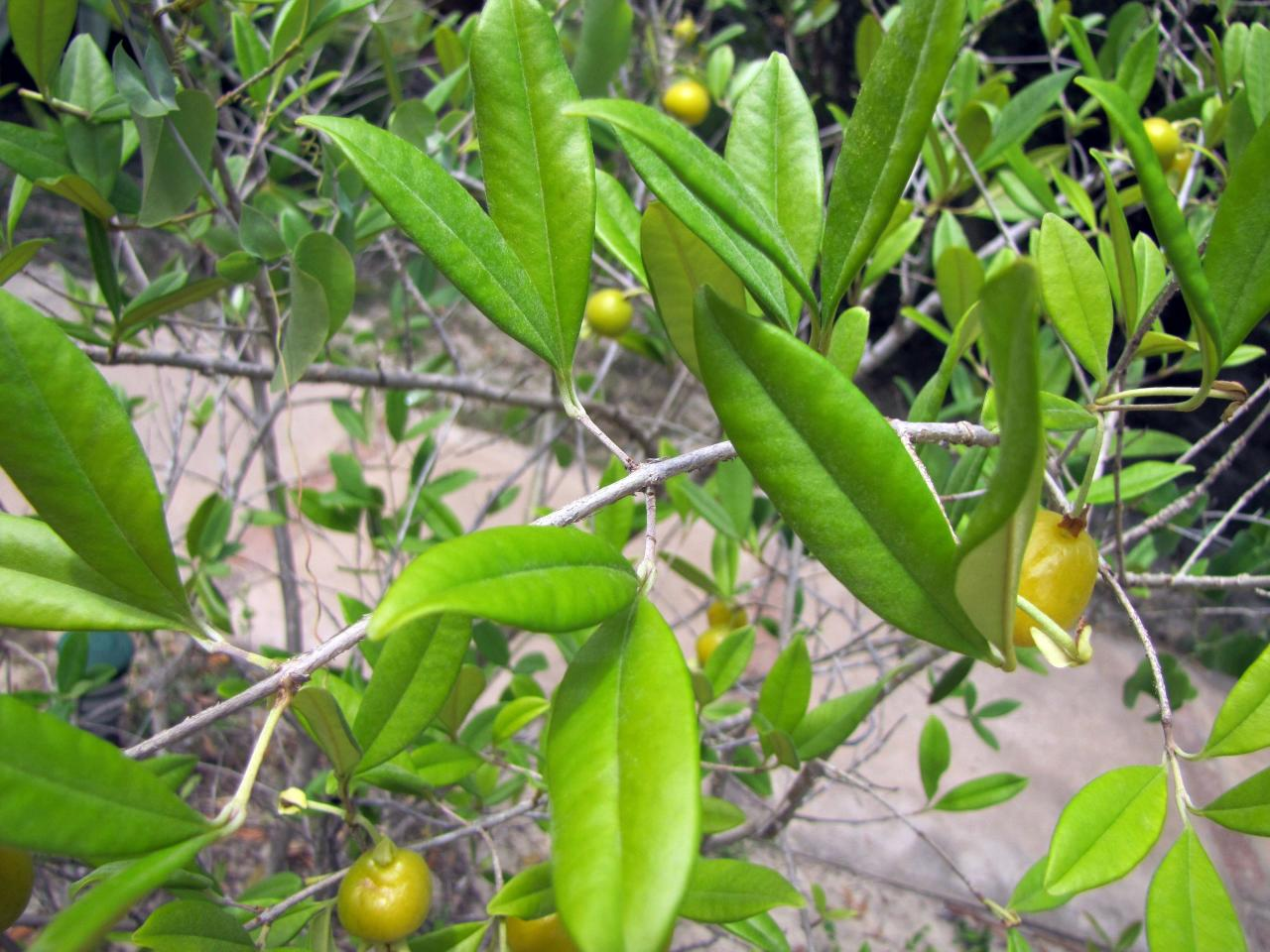 Image of Eugenia pyriformis