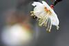 梅影 (samyaoo) Tags: bokeh plum taiwan 南投 台灣 plumblossoms 梅花 nantou shinyi 信義 牛稠坑 柳家梅園 百微 散景 ef100mmmacrof28