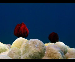 Red Crinoids (Giuseppe Suaria) Tags: red sea uw water canon indonesia island marine wasser mare underwater pacific sub unter north under dive scuba diving housing diver fotografia sulawesi sotto pulau pacifico nord manado external strobe isola celebes g11 sous bangka unterwasser plongee crinoid subacquea sottacqua inon sousmarine crinoids subacquee d2000 crinoidi crinoidea wpdc34