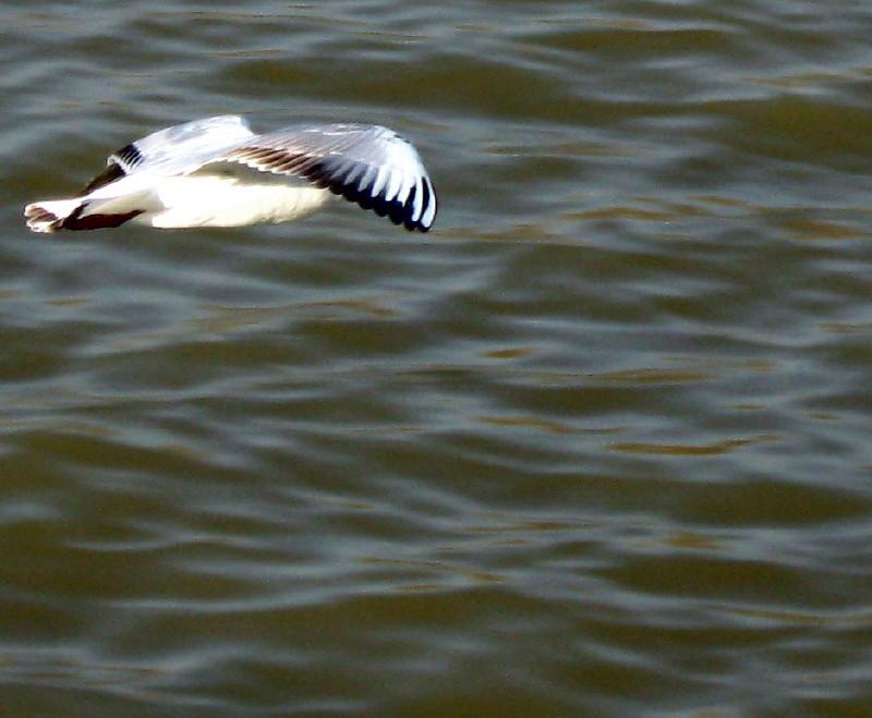 25-12-2010-gulls2