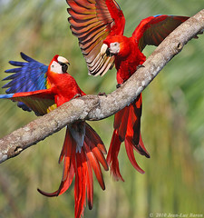 Scarlet Macaw (Ara macao) (Jeluba) Tags: bird nature canon costarica wildlife aves ornithology birdwatching oiseau ara scarletmacaw aramacao neotropical ararouge arakanga colourfulbirds thewonderfulworldofbirds naturesgreenpeace onlythebestofnature photocontesttnc11