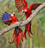 Scarlet Macaw (Ara macao) (Jeluba) Tags: bird nature canon costarica wildlife aves ornithology birdwatching oiseau ara scarletmacaw aramacao neotropical ararouge arakanga colourfulbirds thewonderfulworldofbirds naturesgreenpeace onlythebestofnature photocontesttnc11