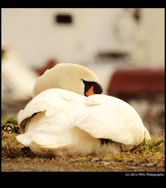 Sleepy Swan Beauty
