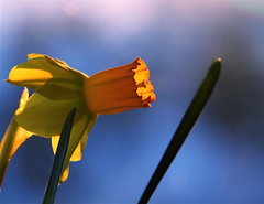 Narcissus   (Parisa Yazdanjoo) Tags: blue flower narcissus
