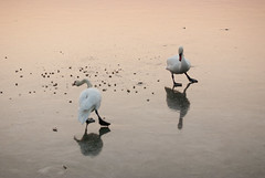 Waltzing (M4j4) Tags: lake reflection ice birds evening frozen swan pinksky flu blackswan waltz